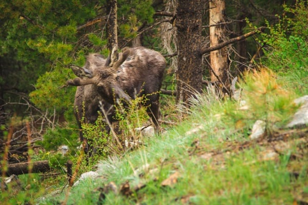 Wildlife Tourism Spotlight: Moose in Colorado